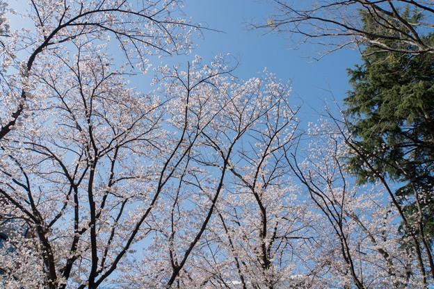 近所のサクラ【市ケ尾第三公園】4