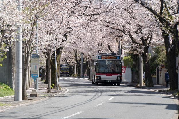 近所のサクラ【あざみ野の桜並木】2