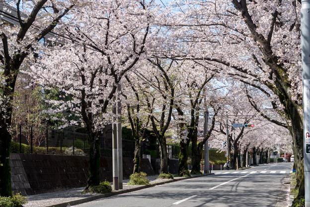 近所のサクラ【あざみ野の桜並木】3