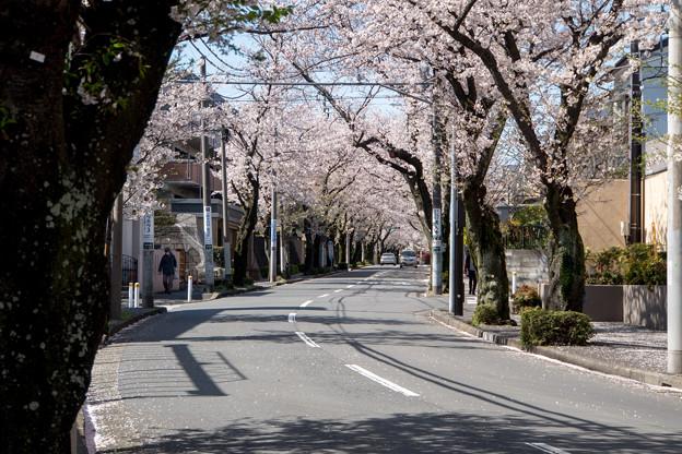 近所のサクラ【あざみ野の桜並木】4
