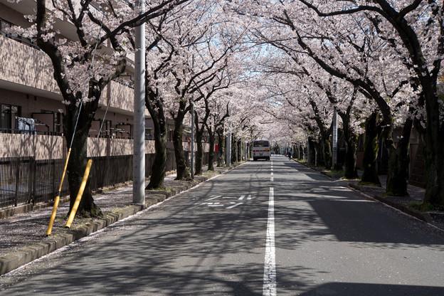 近所のサクラ【あざみ野の桜並木】5