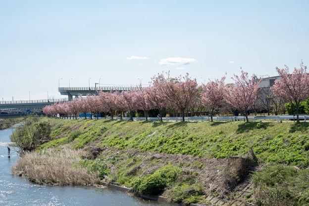 近所のサクラ【鶴見川「川間人道橋」付近の山桜】1
