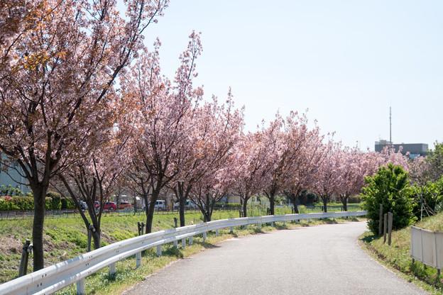 近所のサクラ【鶴見川「川間人道橋」付近の山桜】2