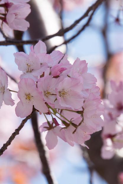 近所のサクラ【鶴見川「川間人道橋」付近の山桜】4