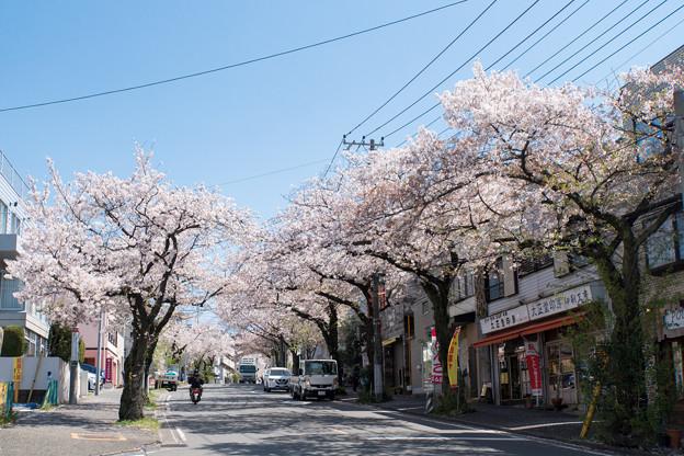 近所のサクラ【桜楽坂の桜並木】2