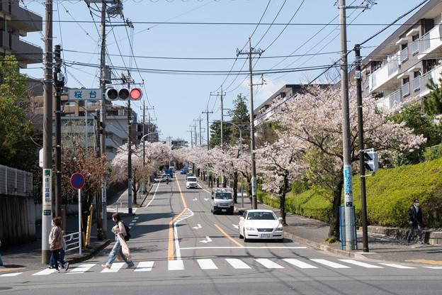 近所のサクラ【桜楽坂の桜並木】4