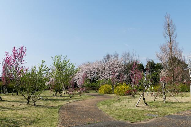 春の花菜ガーデン【春告げの小道: サクラとハナモモ】1