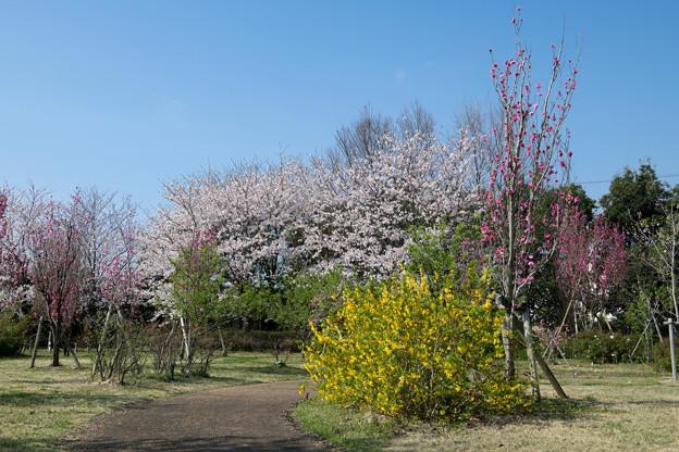 春の花菜ガーデン【春告げの小道: サクラとハナモモ】2