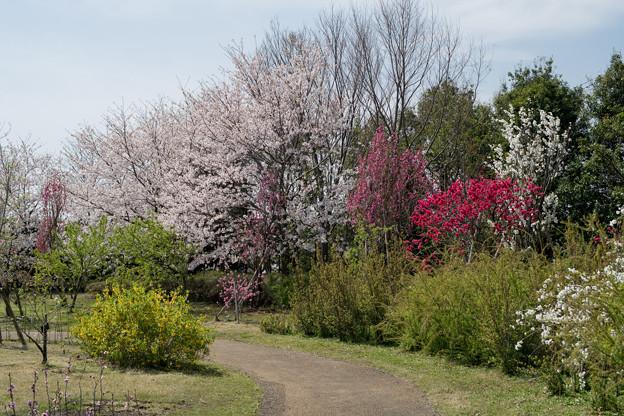 春の花菜ガーデン【春告げの小道: サクラとハナモモ】3