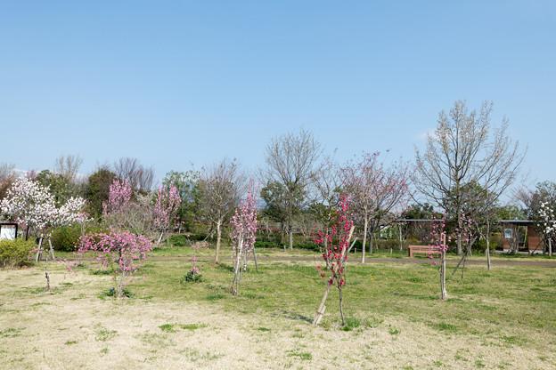春の花菜ガーデン【春告げの小道: ハナモモ】1