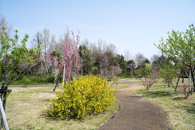 春の花菜ガーデン【春告げの小道: ハナモモ】2