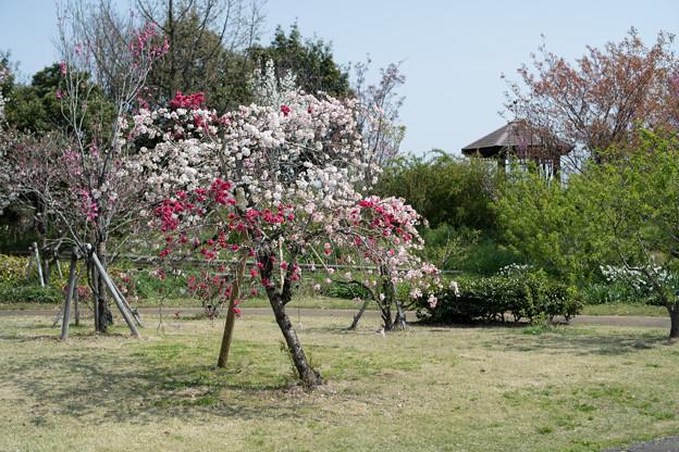 春の花菜ガーデン【ハナモモ: 源平枝垂】1