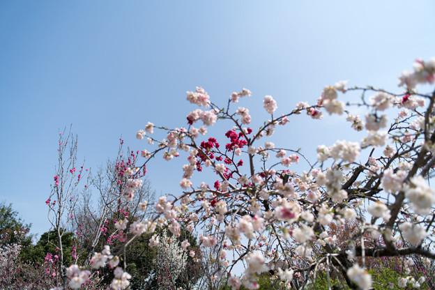 春の花菜ガーデン【ハナモモ: 源平枝垂】2