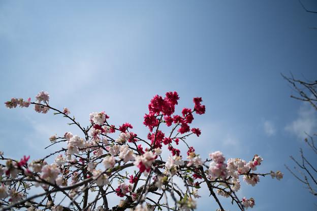 春の花菜ガーデン【ハナモモ: 源平枝垂】3