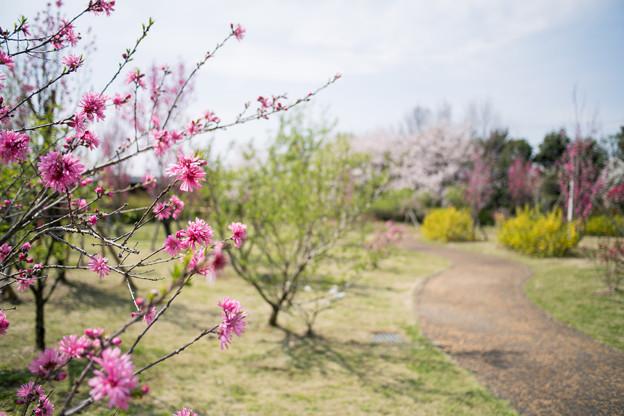 春の花菜ガーデン【ハナモモ: 菊桃】1