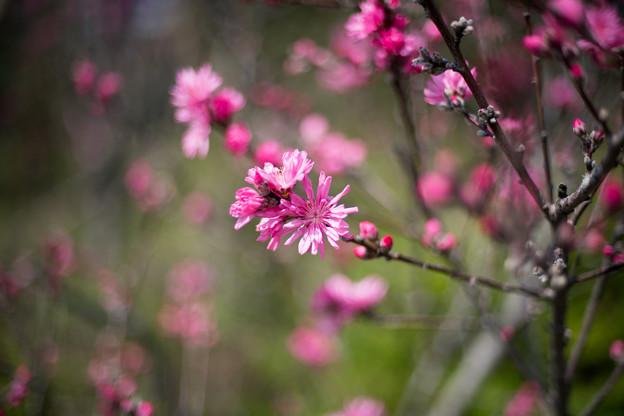 春の花菜ガーデン【ハナモモ: 菊桃】2
