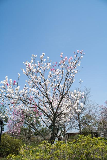 春の花菜ガーデン【ハナモモ: 源平】1
