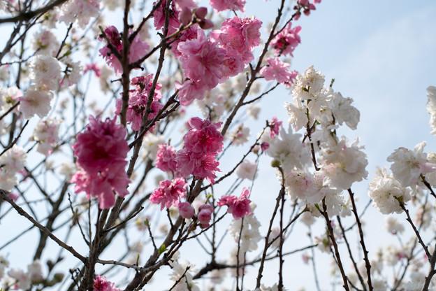春の花菜ガーデン【ハナモモ: 源平】2
