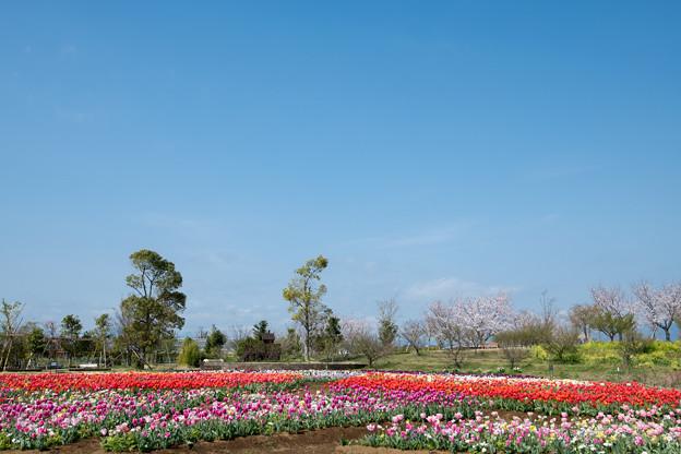 春の花菜ガーデン【チューリップ畑の眺め】1