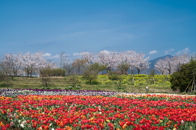 春の花菜ガーデン【チューリップ畑の眺め】2