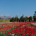 春の花菜ガーデン【チューリップ畑の眺め】3