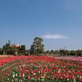 春の花菜ガーデン【チューリップ畑の眺め】4