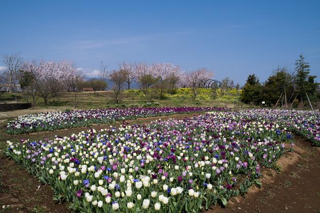 春の花菜ガーデン【チューリップ畑の眺め】5
