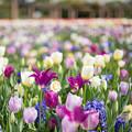 春の花菜ガーデン【チューリップ: 紫角】1