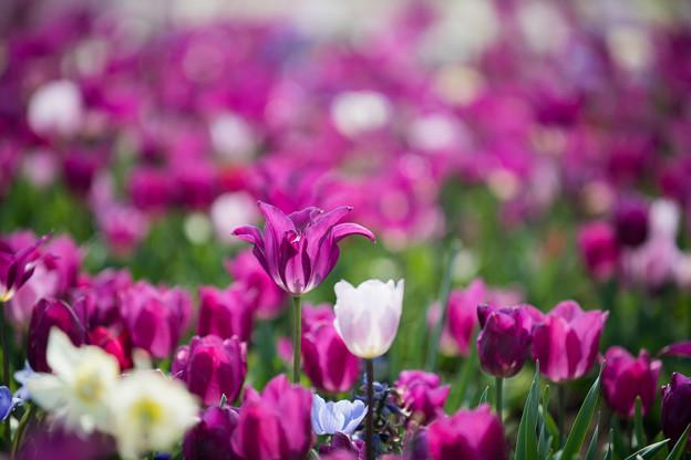 春の花菜ガーデン【チューリップ: 紫角】2