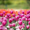 春の花菜ガーデン【チューリップ: 紫丸】2