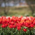 春の花菜ガーデン【チューリップ: 橙】1