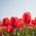 春の花菜ガーデン【チューリップ: 橙】2