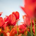 春の花菜ガーデン【チューリップ: 橙】3
