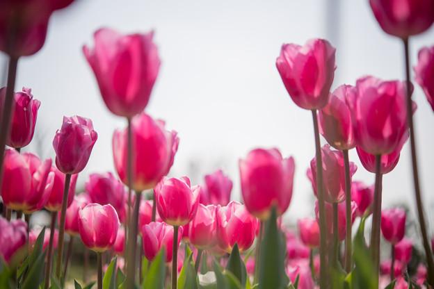 春の花菜ガーデン【チューリップ: ピンク】1