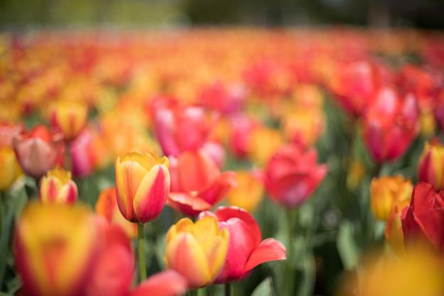 春の花菜ガーデン【チューリップ: 橙黄】2