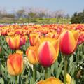 春の花菜ガーデン【チューリップ: 橙黄】3