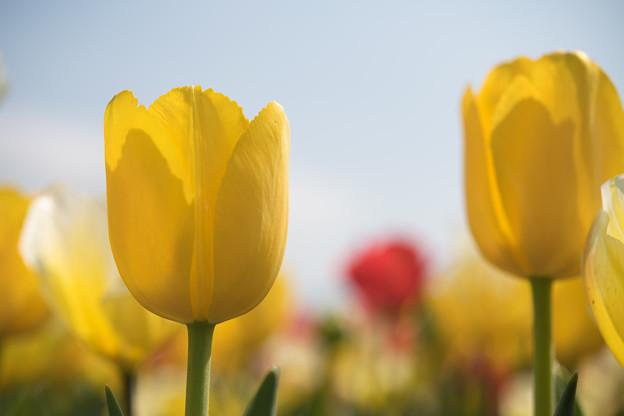 春の花菜ガーデン【チューリップ: 黄】