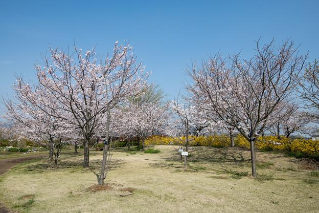 春の花菜ガーデン【サクラの眺め: 染井吉野】2