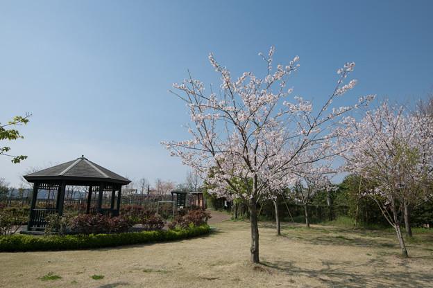 春の花菜ガーデン【サクラの眺め: 染井吉野】3