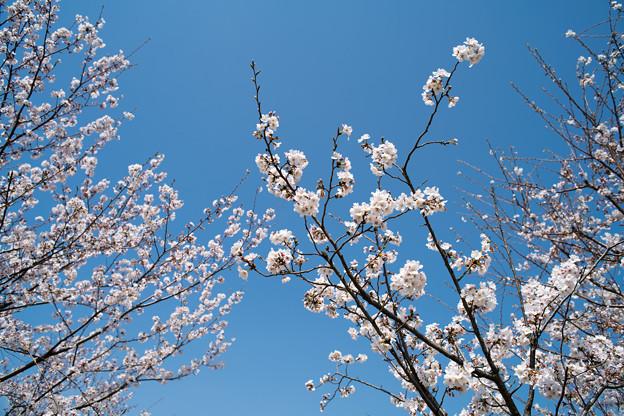 春の花菜ガーデン【サクラの眺め: 染井吉野】4