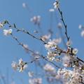 春の花菜ガーデン【サクラの眺め: 染井吉野】5