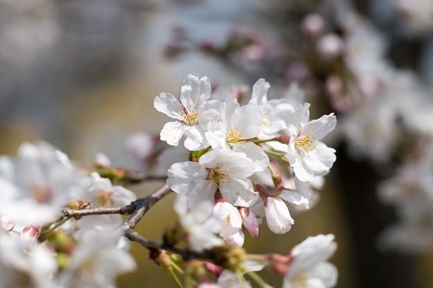 春の花菜ガーデン【染井吉野のアップ】1
