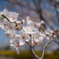 春の花菜ガーデン【染井吉野のアップ】2