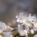 春の花菜ガーデン【染井吉野のアップ】3