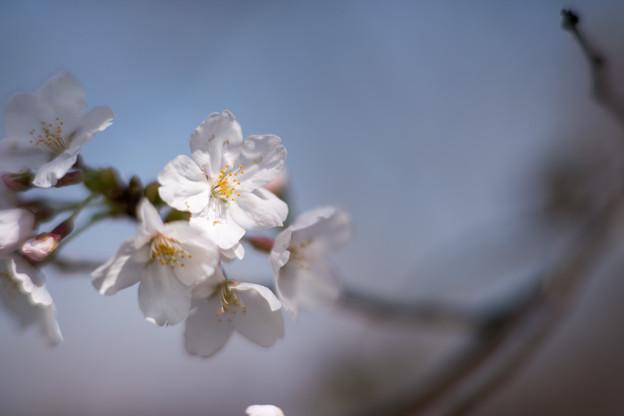 春の花菜ガーデン【染井吉野のアップ】4
