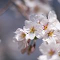 春の花菜ガーデン【染井吉野のアップ】5