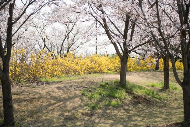 春の花菜ガーデン【染井吉野とレンギョウ】1