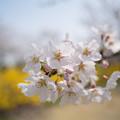 春の花菜ガーデン【染井吉野とレンギョウ】2