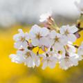 春の花菜ガーデン【染井吉野とレンギョウ】3