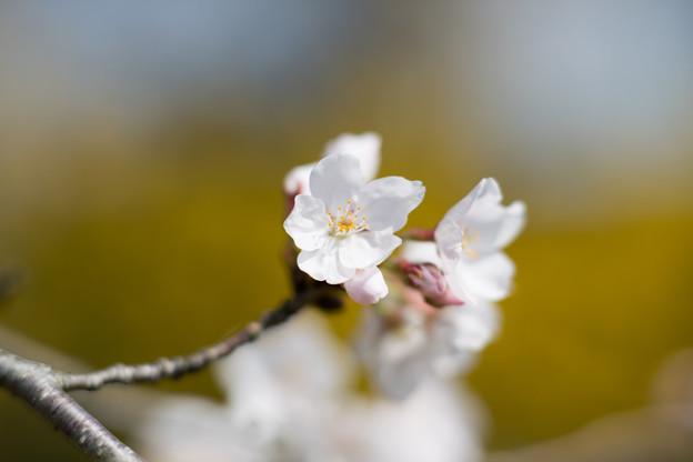 春の花菜ガーデン【染井吉野とレンギョウ】4